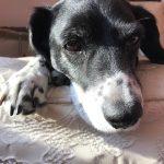 beagle spaniel